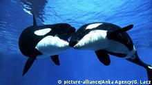 Global Ideas küssende Tiere Schwertwale
