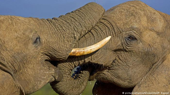 دغه دوه فيلان يو بل ته خپله مينه نه ښکاره کوي، بلکې اصلاً يو بل ټېل وهي او د اوبو پر سر سره جنګيږي. دوی په سويلي افريقا کې غواړي خپله د اوبو تنده خړوبه کړي.