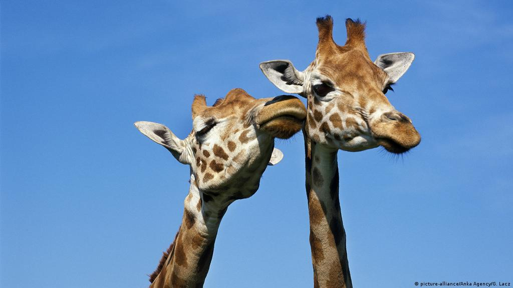 Giraffes move closer to endangered species protection | News