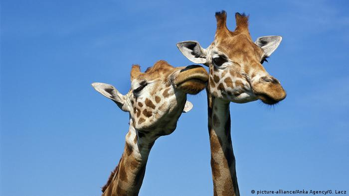 Global Ideas küssende Tiere Giraffen