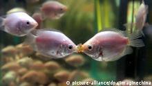 Küssend tragen zwei Fische der Art Küssender Gurami in einem Aquarium am 14.2.2005 im Nanjing in der chinesischen Provinz Jiangsu Rivalitäten aus. Die sich küssenden Fische werden in China gerne am Valentinstag verschenkt. Foto: Imaginechina dpa +++(c) dpa - Report+++ |