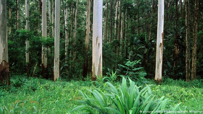 Eucalyptus trees in South Africa (Source: picture-alliance/Bibliographis/H. Wilhelmy)