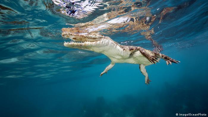 Krokodil (Imago/OceanPhoto)