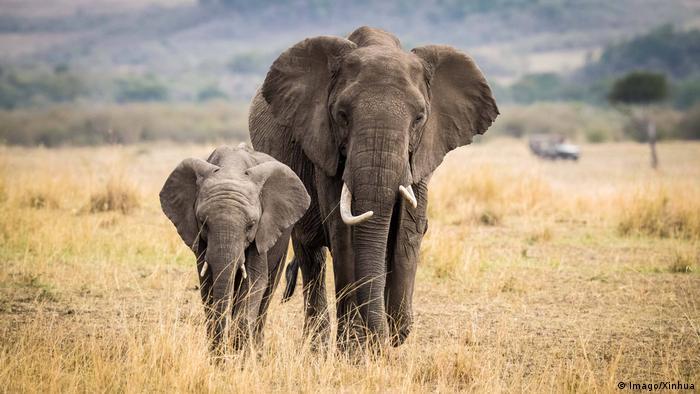 Mengapa Gajah Jarang Terkena Kanker? | IPTEK: Laporan seputar sains dan  teknologi dan lingkungan | DW | 15.08.2018