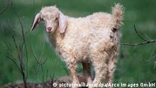 Angora goat (picture-alliance/dpa/Arco Images GmbH)
