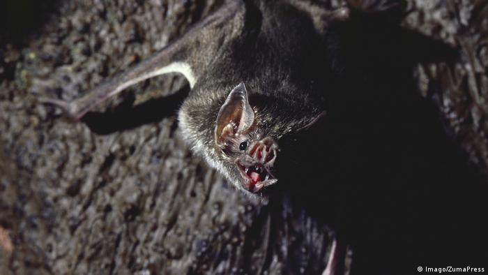 Vampire bat looks into the camera with its mouth open