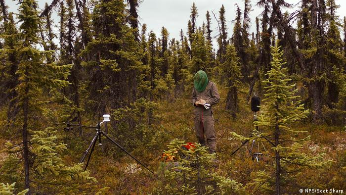 Biologist and soundscape specialist Davyd Betchkal collecting sounds in an Alaskan wood (Source: NPS/Scot Sharp)