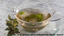 Grosse Brennnessel, Grosse Brennessel, Urtica dioica, stinging nettle
