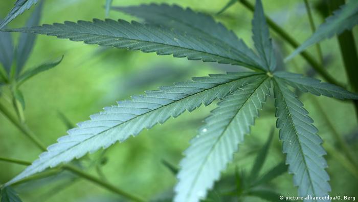Cannabis sativa leaf
