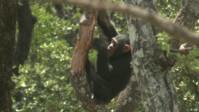 DW eco@africa - Schimpansen
