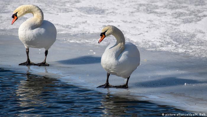 Los pájaros tienen un termostato interior que les permite congelarse. Se trata de un complejo de finas arterias llamado red tibiotarsal. La sangre que circula hacia los pies calienta a la sangre que retorna hacia la parte superior del cuerpo. Eso hace que solo llegue sangre fría a los pies, minimizando la pérdida de calor del cuerpo.