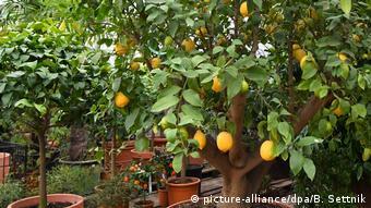 Πολλοί προτιμούν τα μεσογειακά φυτά για να διακοσμήσουν έναν χώρο.