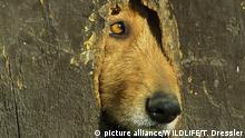 ESP, 2006: Haushund (Canis lupus familiaris) schaut durch ein Loch in einer hoelzernen Tuer, Alpujarras, Granada, Andalusien. [en] A hole in a wooden door of a farmhouse in the Alpujarras region is used by the housedogs (Canis lupus familiaris) as a look-out. Province of Granada, Andalucía.   ESP, 2006: A hole in a wooden door of a farmhouse in the Alpujarras region is used by the housedogs (Canis lupus familiaris) as a look-out. Province of Granada, Andalucía.  