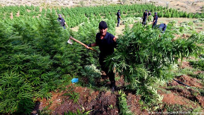 Police holding cannabis plants