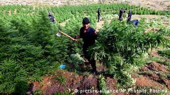 Αστυνομικοί καταστρέφουν δενδρύλλια στην Αλβανία