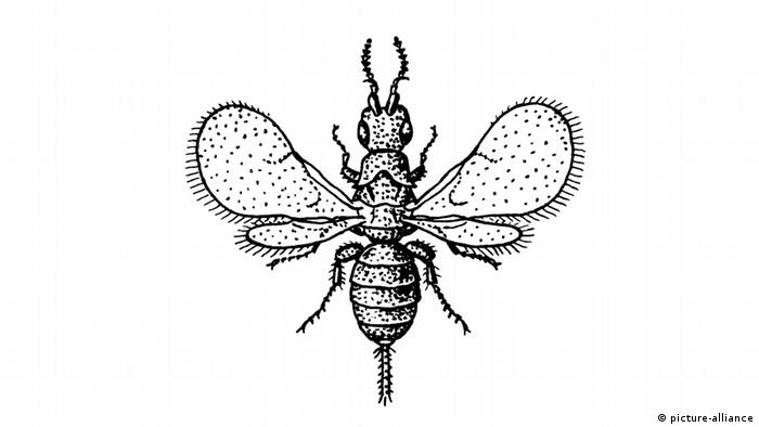 A drawing of a fig wasp