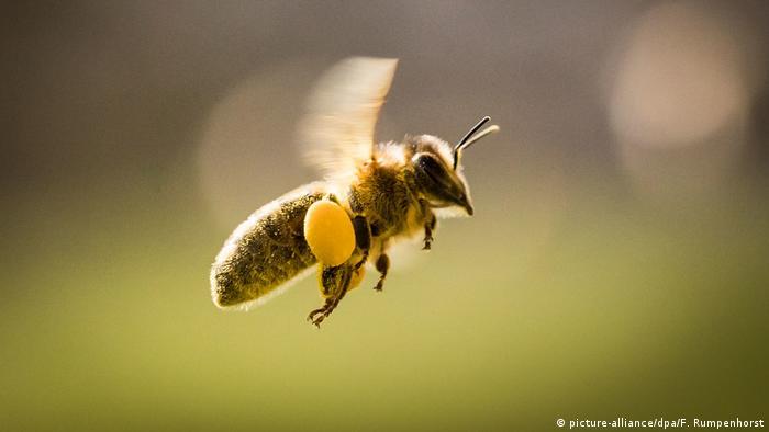 EU-Behörde: Pestizide schädigen Bienen (picture-alliance/dpa/F. Rumpenhorst)