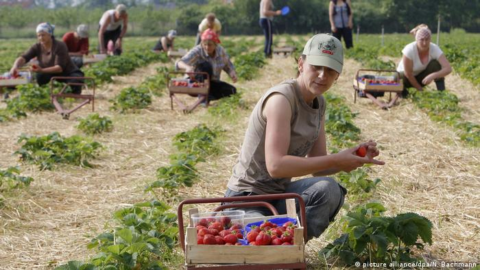 Polish workers in a German strawberry patch (picture alliance/dpa/N. Bachmann)