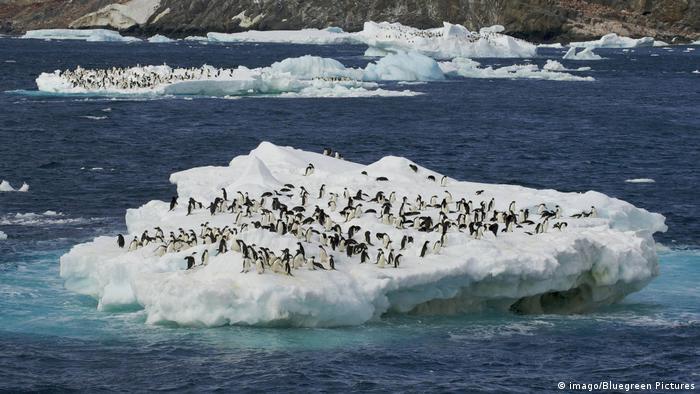 Danger Island | Adelie Pinguine