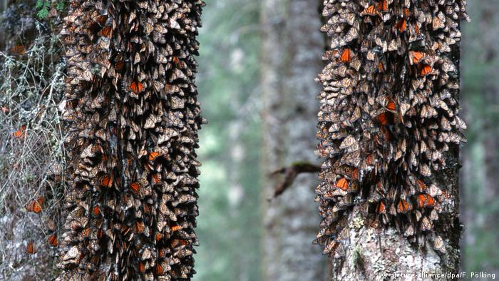 Monarch butterflies overwintering on fir trees in Mexico (picture-alliance/dpa/F. Pölking)