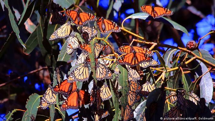 Monarchfalter Mexiko Schmetterlinge (picture-alliance/dpa/R. Goldmann)