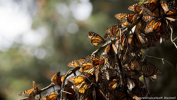A kaleidoscope of Monarch butterflies hang from a tree branch, in the Piedra Herrada sanctuary, near Valle de Bravo, Mexico (picture-alliance/dpa/R. Blackwell)