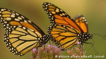 Monarchfalter Mexiko Schmetterlinge