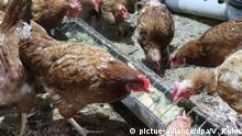 Gratis-Hühner zum Müll-Sparen im Elsass