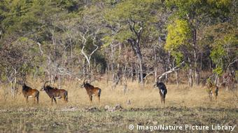 Riesen-Rappenantilope