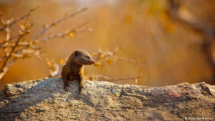 A mongoose looks away from the camera