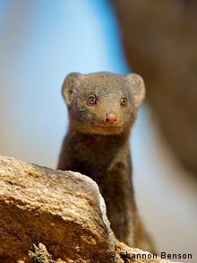Dwarf mongoose behind a rock