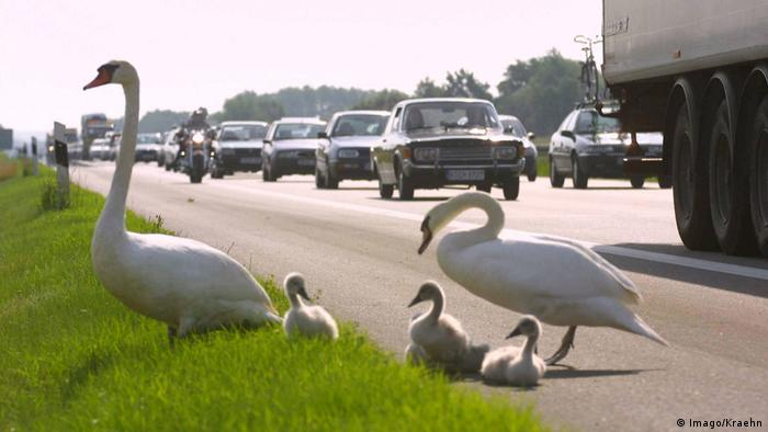 Swans on the edge of a motorway