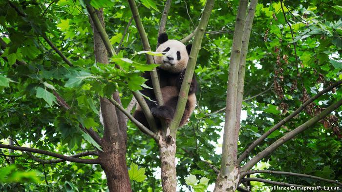 Großer Panda-Bär in China (picture-alliance/Zumapress/P. Lujuan)