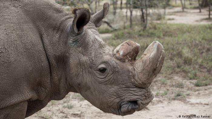 Kenia Nördliches Weißes Nashorn