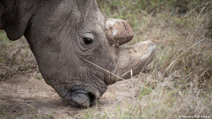 Kenia Nördliches Weißes Nashorn (Reuters/Baz Ratner)