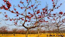 There is a very beautiful garden in Sunamganj district of Bangladesh. The garden is full of Shimul flower trees. The shimul trees form a fiery red canopy of silk cotton blooms, spreading over the country road. Shimul is scientifically known as Bombax. Foto: DW/Mostafigur Rahman