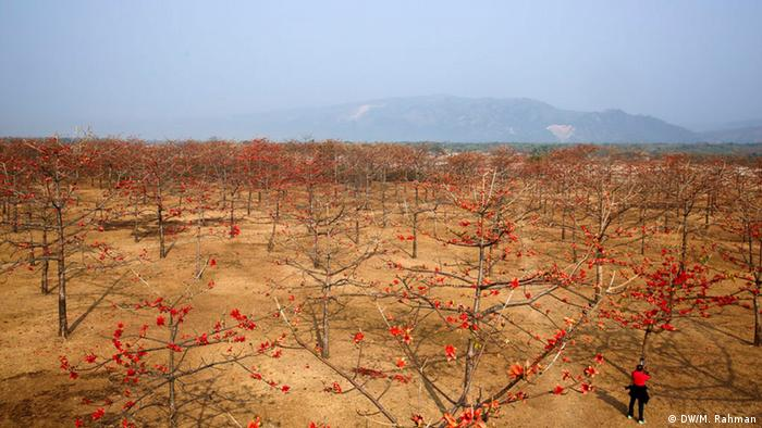Bangladesh Shimul-Blumenbäumen Garten (DW/M. Rahman)