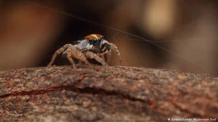 Neue Arten Spinne