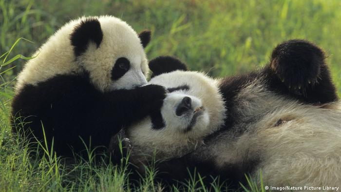 Der Große Panda könnte laut Studie der Erderwärmung zum Opfer fallen