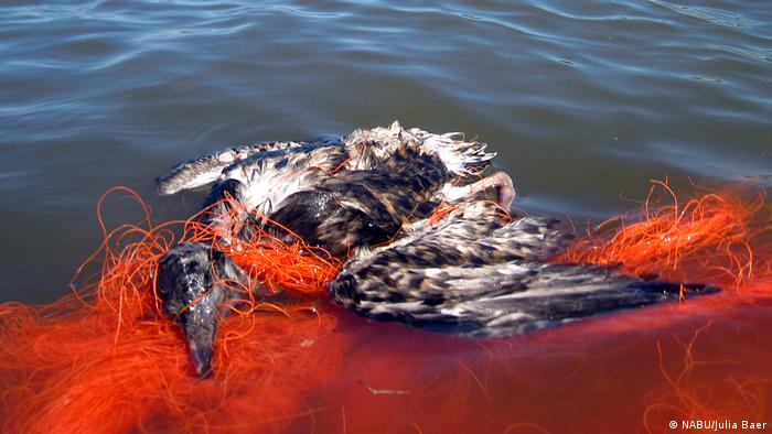 Sea bird dead in fishing net