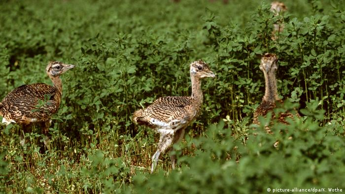 These great bustard chicks are being raised at a breeding station in Hungary (picture-alliance/dpa/K. Wothe)