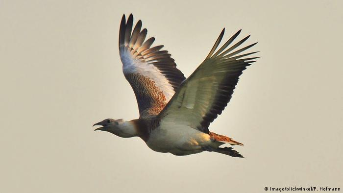 Great bustard in flight (Imago/blickwinkel/P. Hofmann)