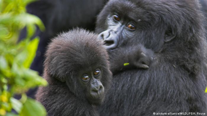 An eastern mountain gorilla mother with her infant. The infant is looking towards the camera