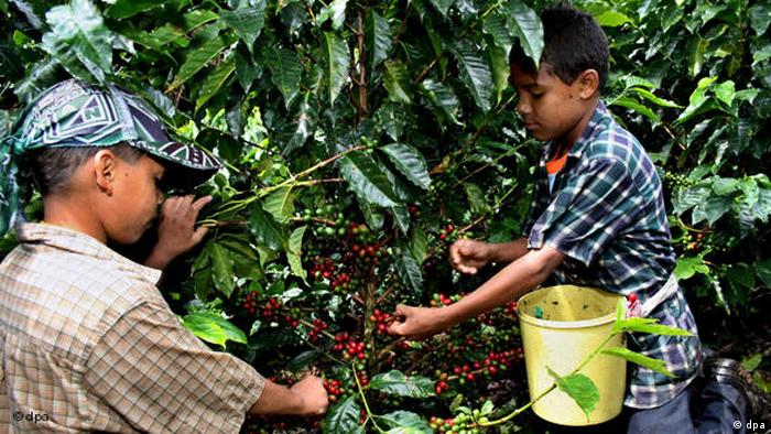 Children picking coffee beans in Colombia