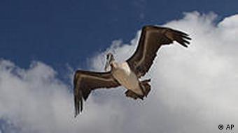 Galapagos Albatros