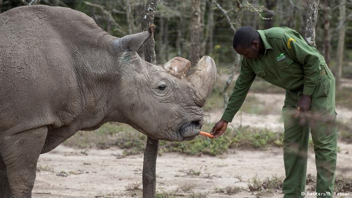 Letztes männliches Nördliches Breitmaulnashorn der Welt gestorben