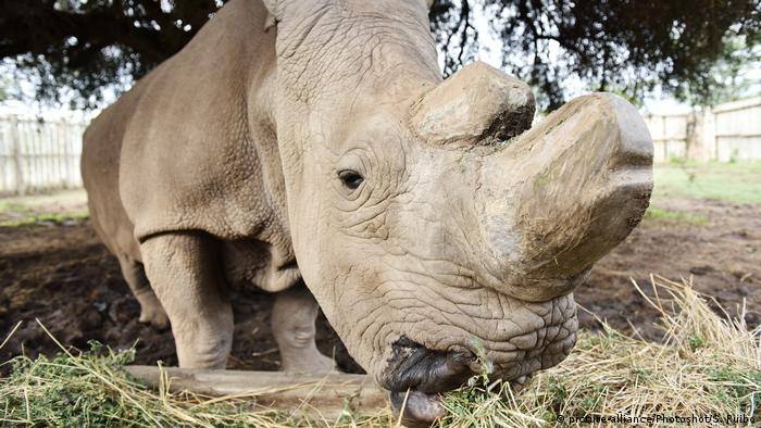 Sudan, the last northern white rhino (picture-alliance/Photoshot/S. Ruibo)