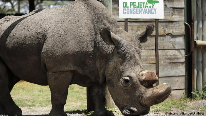 Sudan, the world's last male northern white rhino