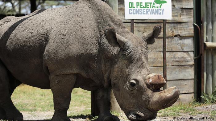 Sudán el último rinoceronte blanco del norte.