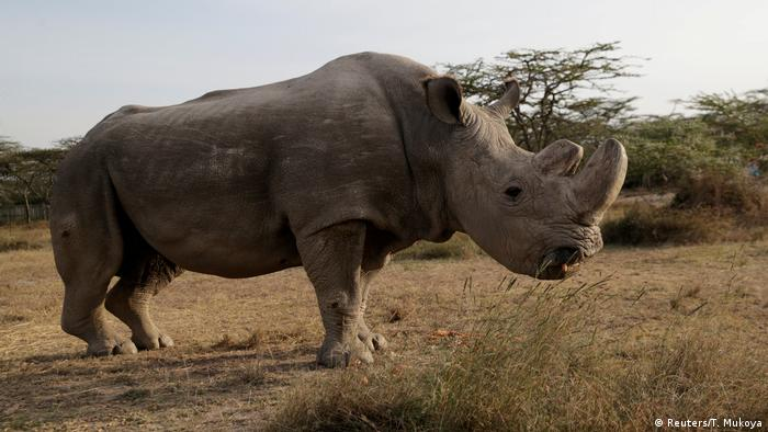 A photo showing the last surviving male northern white rhino named 'Sudan' shortly before his death in 2018